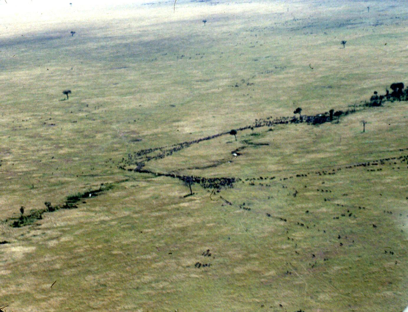 m mara air wbeest migration