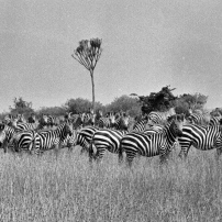 A herd of zebra that accompanied the wildebeest.