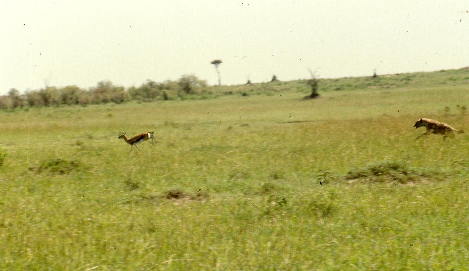 m mara ...hyena chasing thomson gazelle