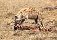m mara hyena copy