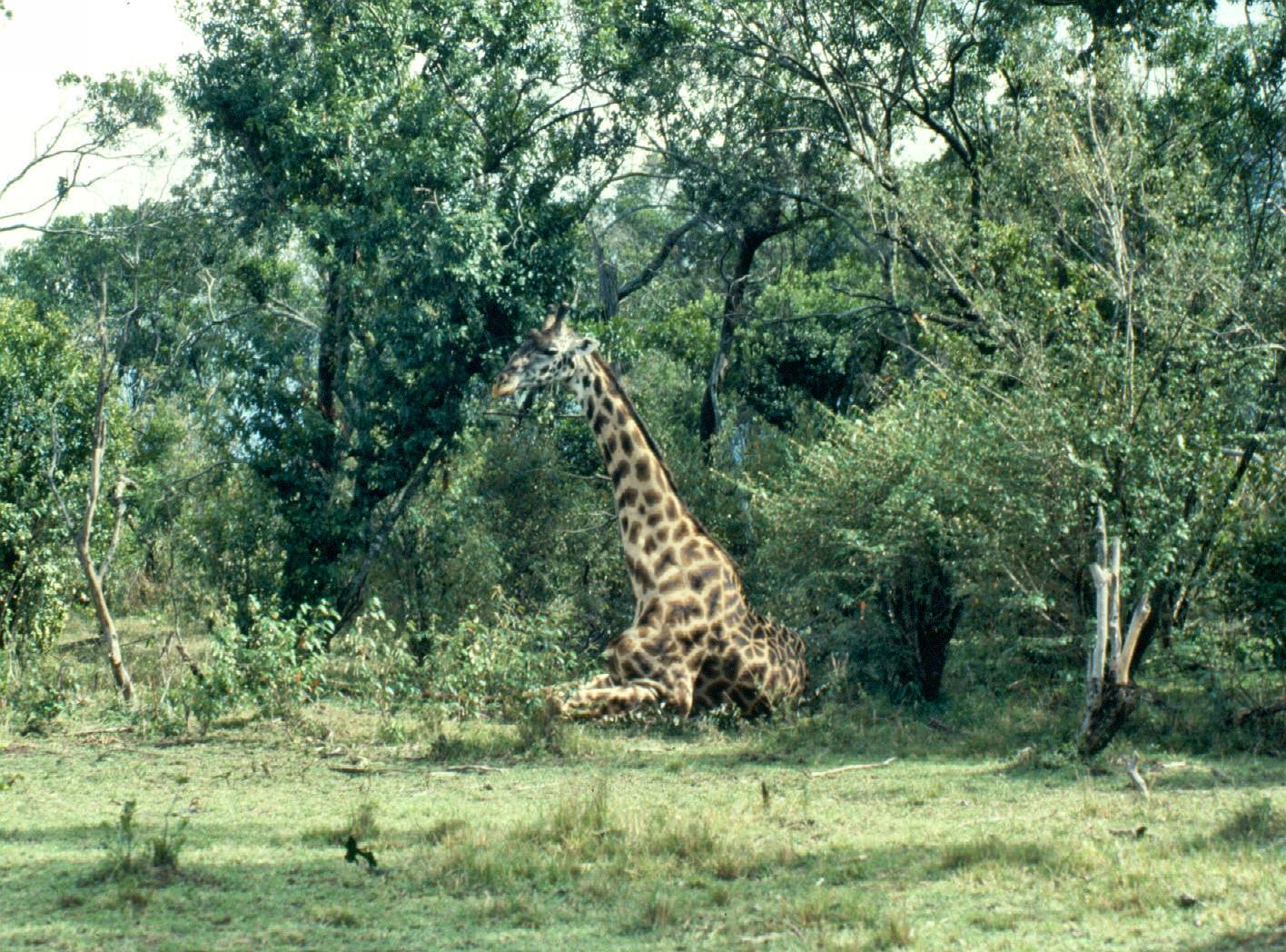 m mara sick giraffe...