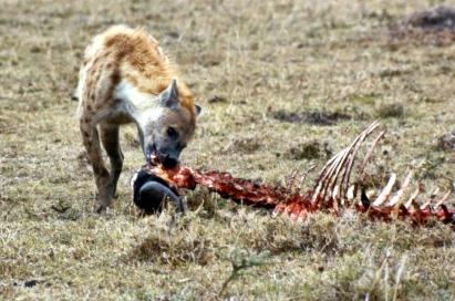 mmara hyena 2