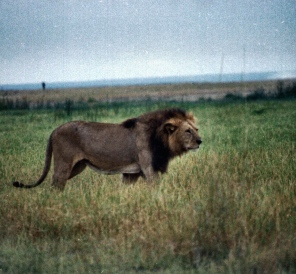amboseli 4 lion enhanced