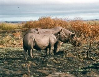 amboseli black rhino