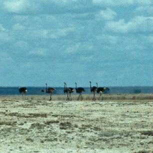 Amboseli dry lake ostriches copy