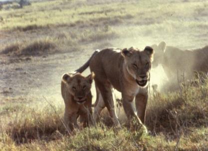 Amboseli lioness cubs copy