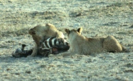 Amboseli lioness zebra kill copy