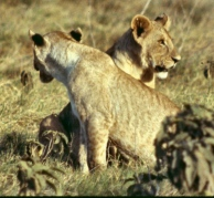 Amboseli lionesses crop