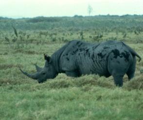 Amboseli rhino