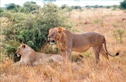lions maneless male and fem T East