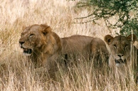 Tsavo e mainless male and female 1