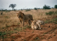 Tsavo e mainless male and female 3