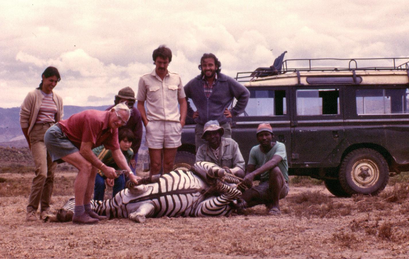 Darting zebra Naivasha copy