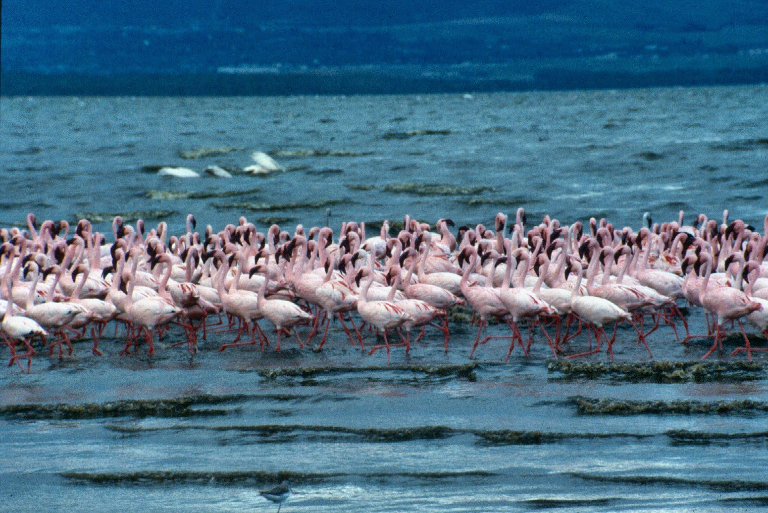 Flamingoes Nakuru copy