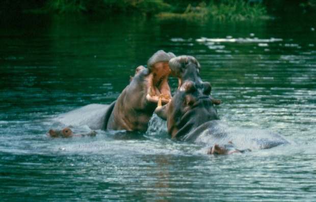hippos fighting Mzima Sp copy