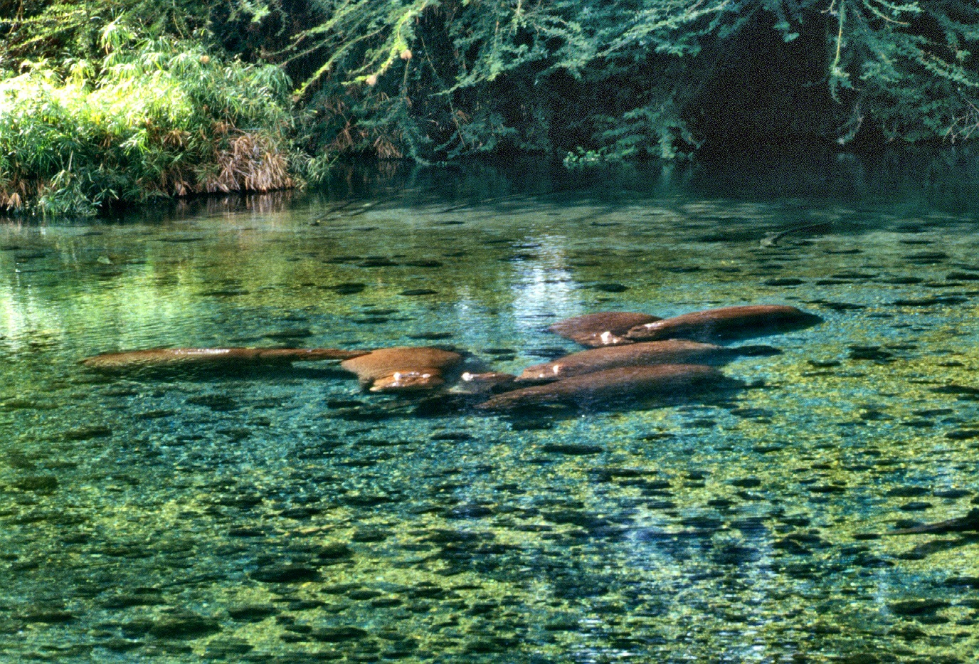 hippos Mzima under water copy