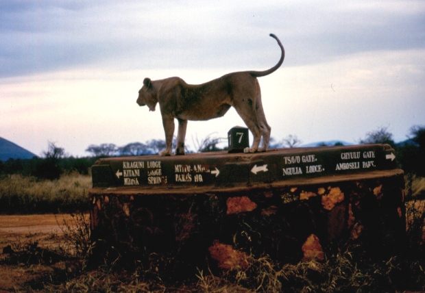 lioness Tsavo West copy