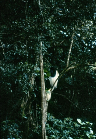 Black and white colobus monkey.