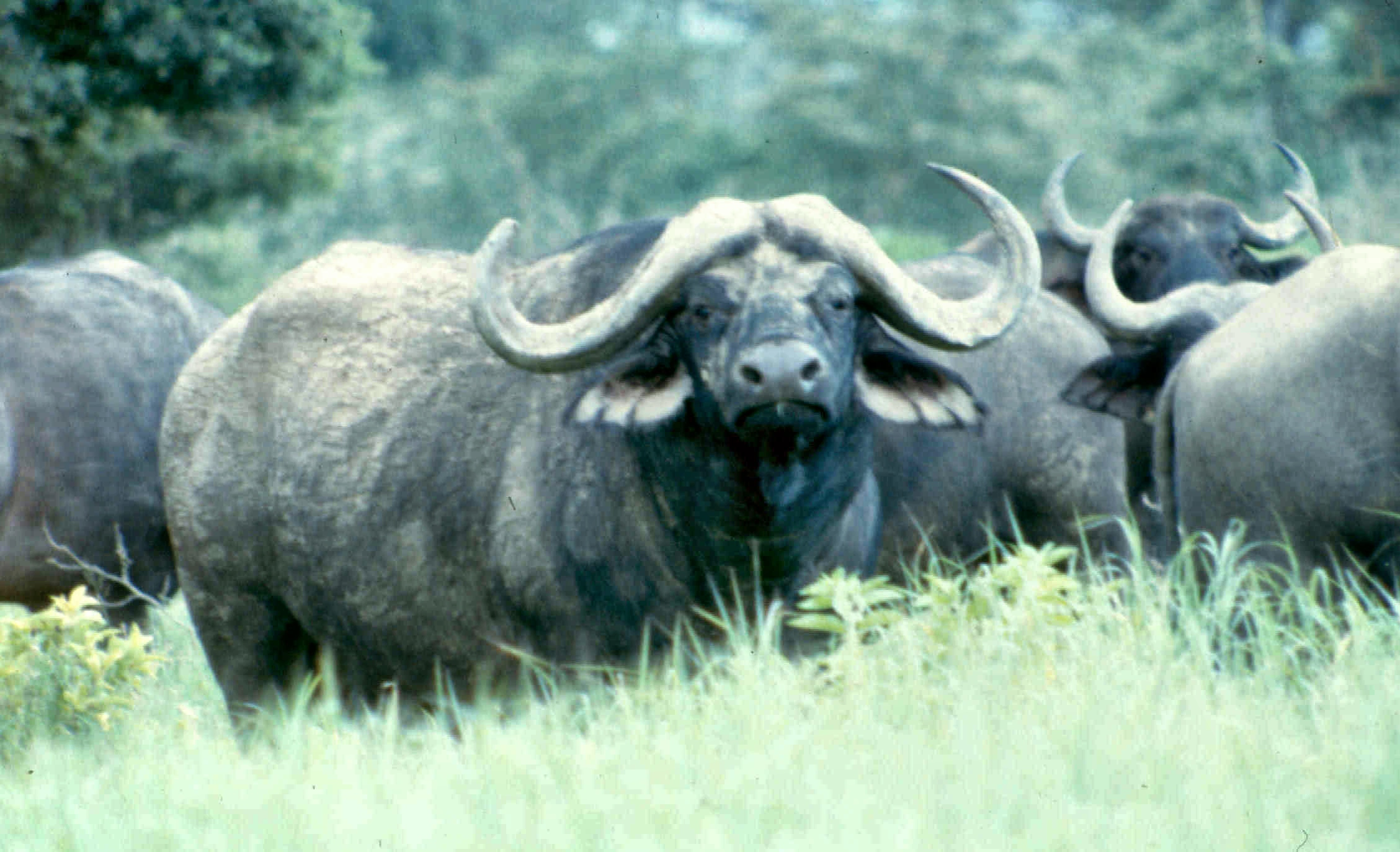 nakuru buffaloes best