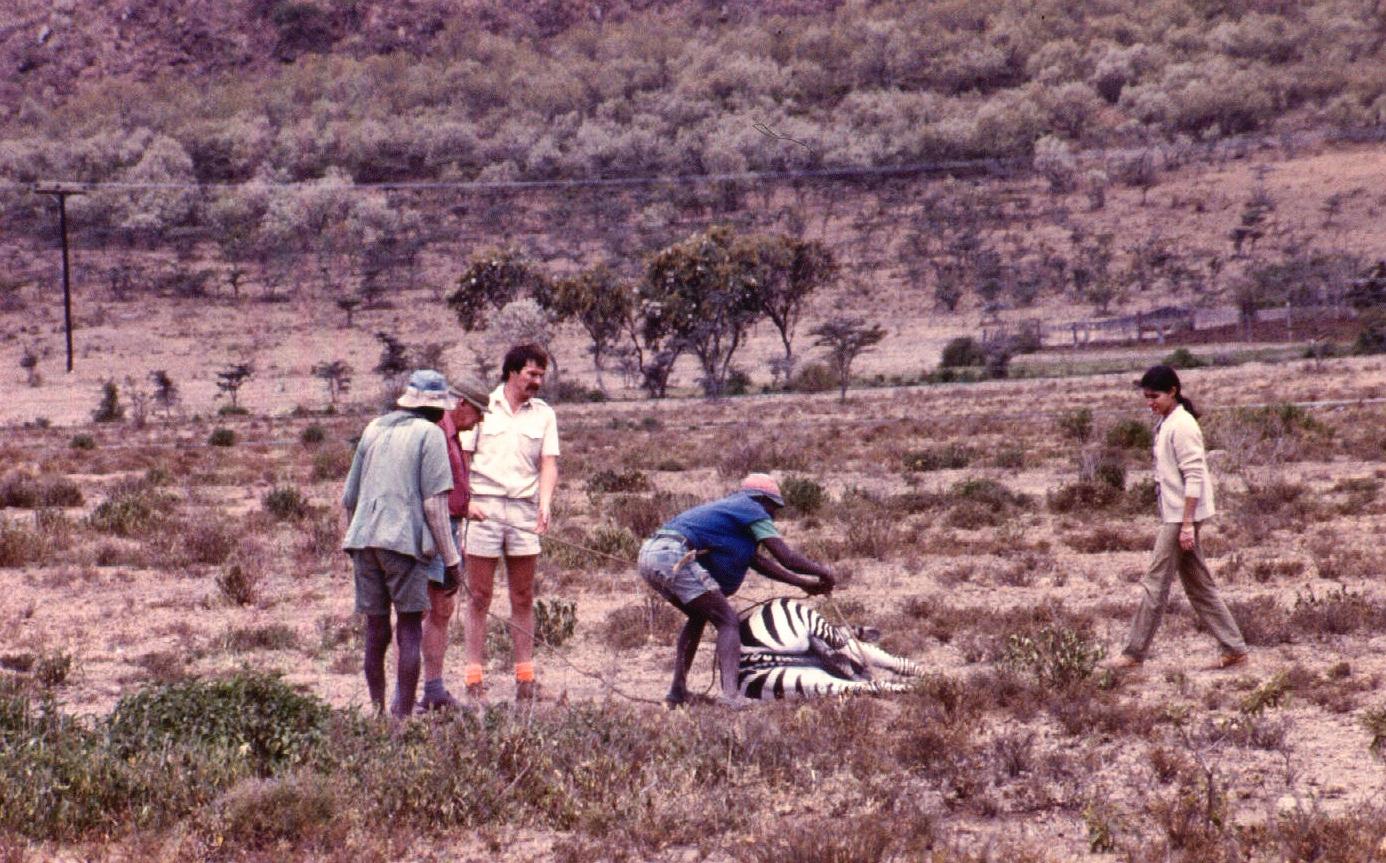 zebra darting naiv copy