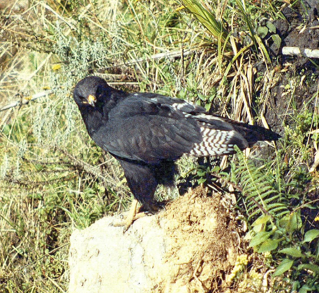 Aberdares mel augurd buzzard-001