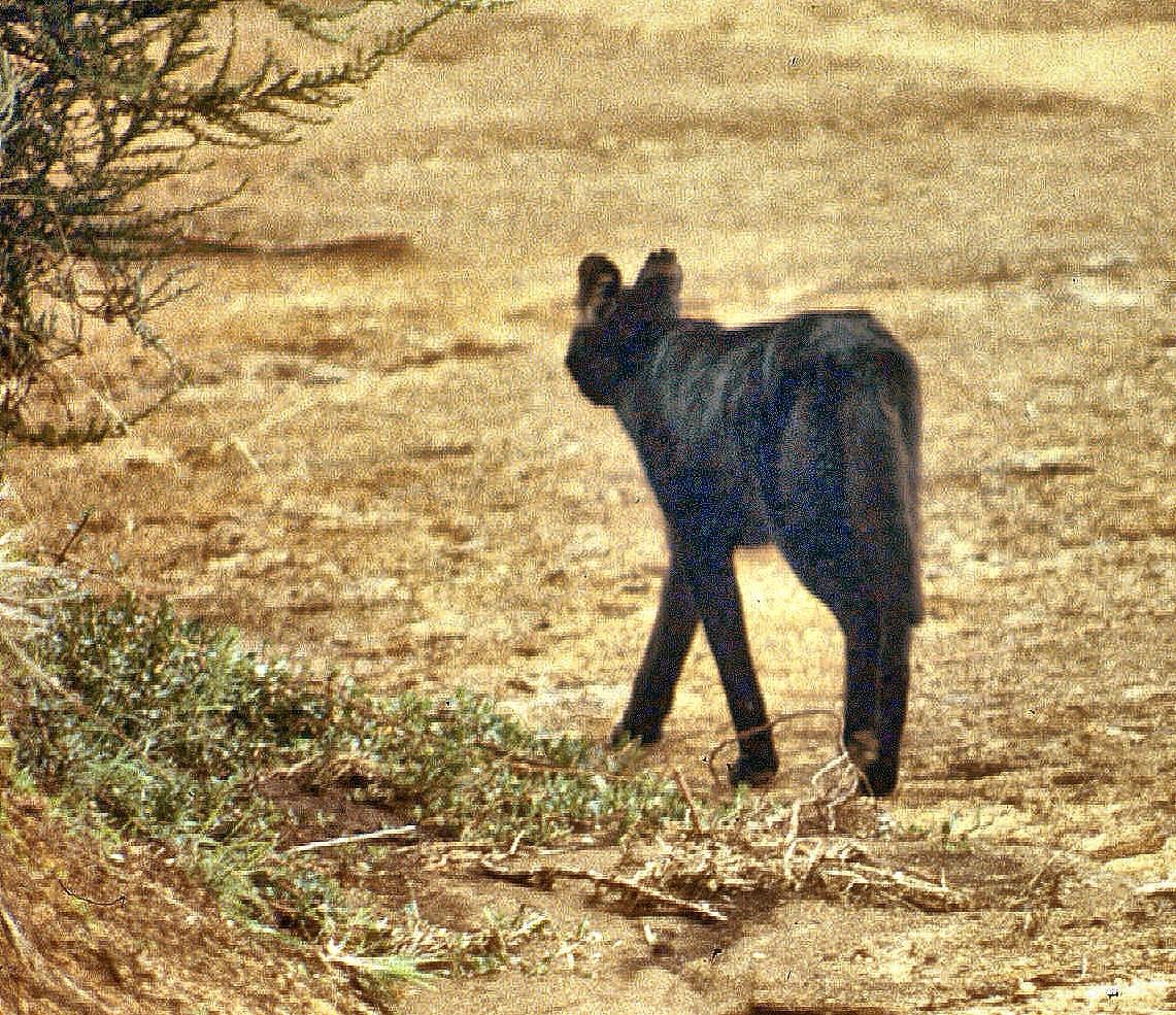 Aberdares mel serval-001