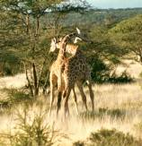 giraffes necking samburu 2 copy 2