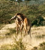 giraffes necking samburu 7