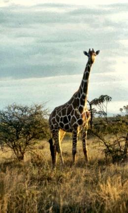 Meru NP ret giraffe
