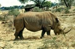 meru np white rhino