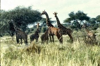 meru retic giraffe