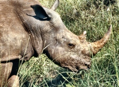 meru white rhino copy