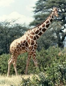 Ret giraffe samburu np 1 copy