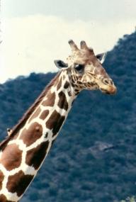 Ret giraffe samburu np copy