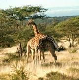 Ret giraffe samburu np necking 1 copy
