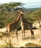 Ret giraffe samburu np necking 2 copy