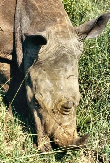 Rhino Meru copy 3