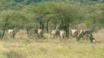 samburu oryx best