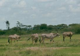 samburu oryx