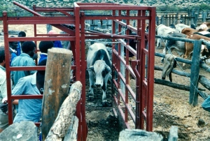 A bull entering the restraining cage.