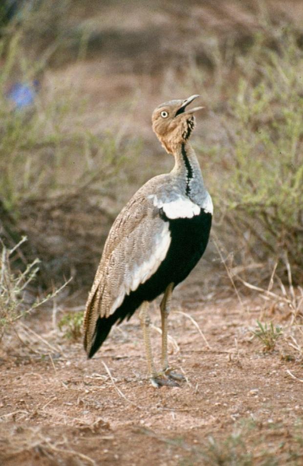 samburu black bellied bustard 1