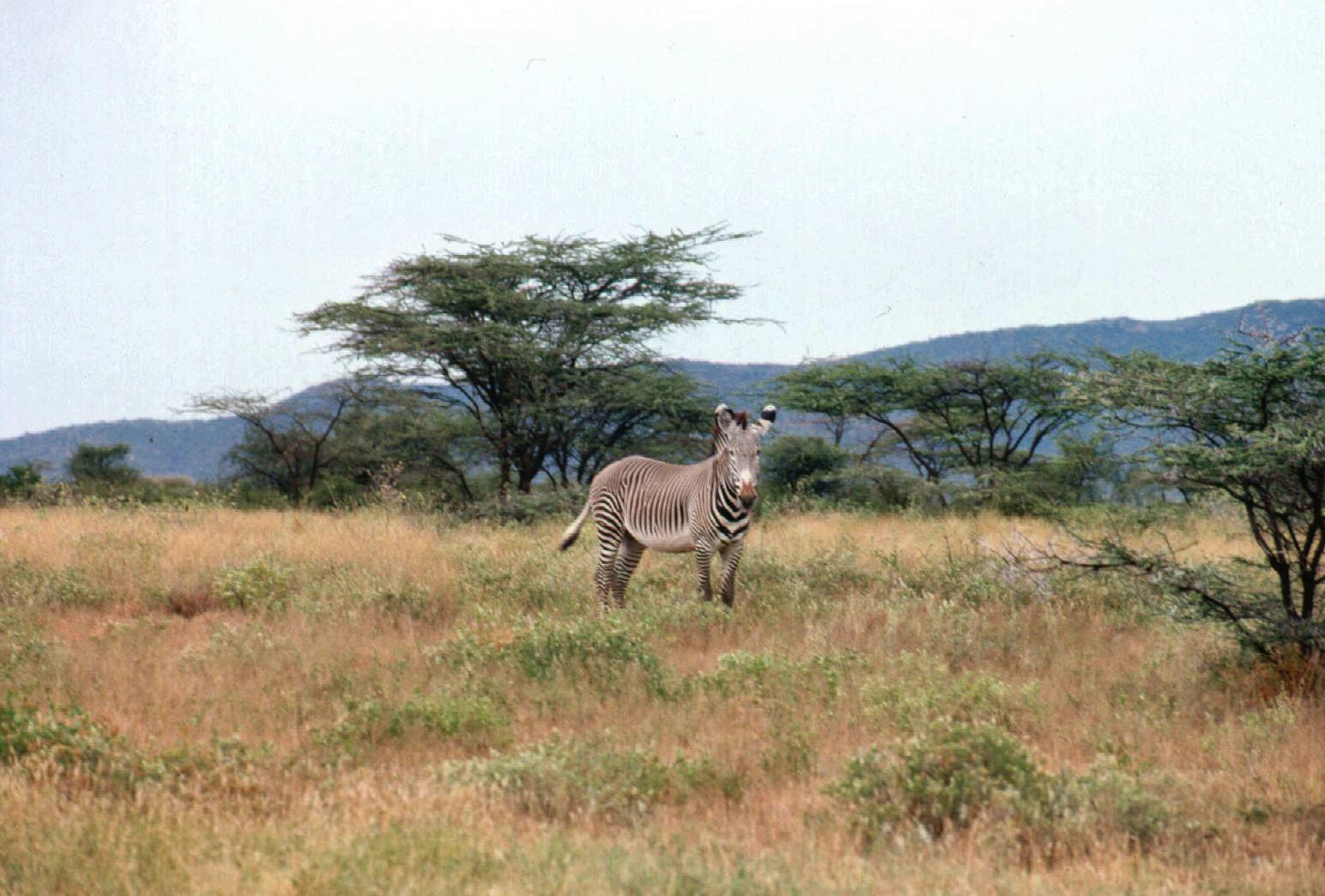 turkana safari gravy zebra