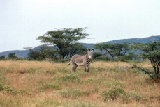 "A Grevy zebra, a ""special"" of Northern Kenya."