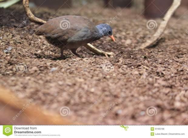 tataupa-tinamou-strolling-soil-97405188